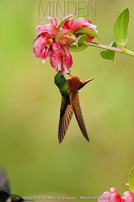 Chestnut-breasted Coronet (Boissonneaua matthewsii) hummingbird feeding on flower, Ecuador  -  Murray Cooper