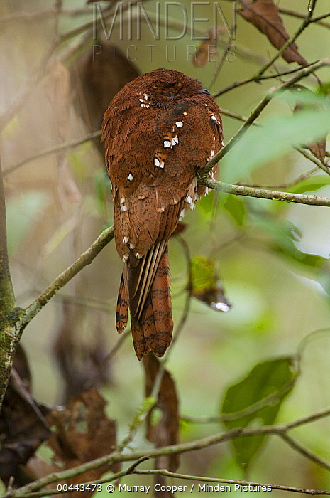 Rufous Potoo (Nyctibius bracteatus) sleeping, Ecuador  -  Murray Cooper
