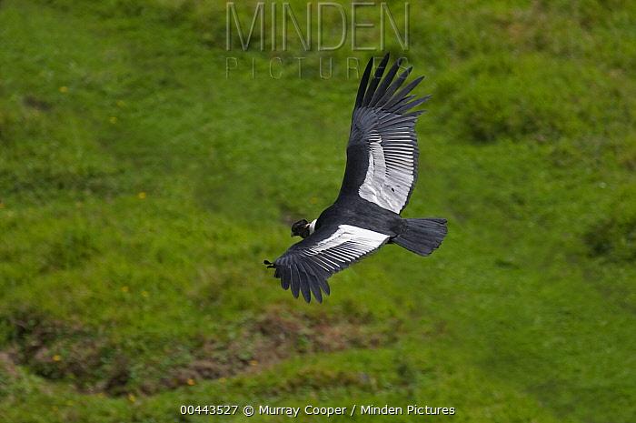 Andean Condor (Vultur gryphus) male flying, Ecuador  -  Murray Cooper