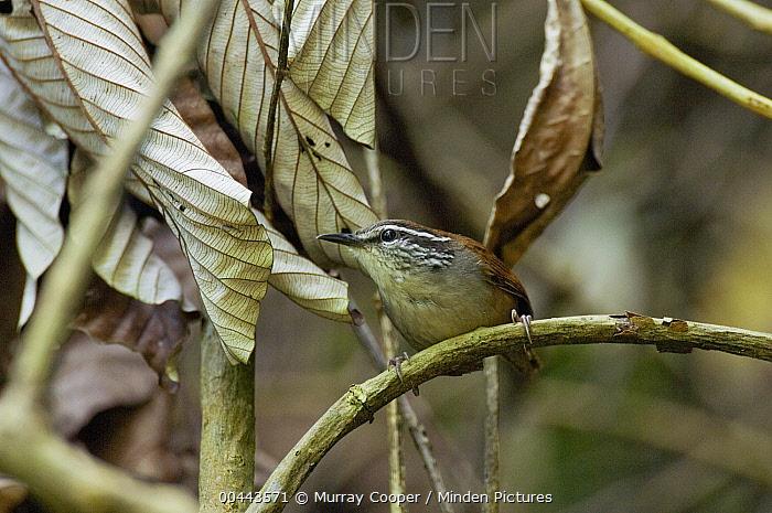 Gray-breasted Wood-Wren (Henicorhina leucophrys), Colombia  -  Murray Cooper