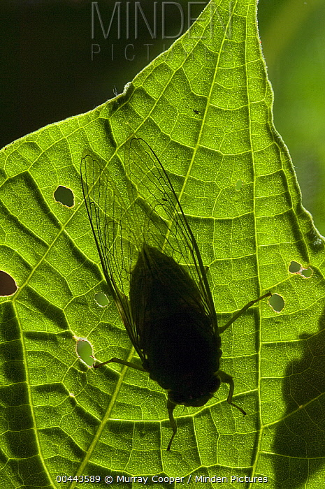 Cicada (Cicada sp) silhouette, Ecuador  -  Murray Cooper