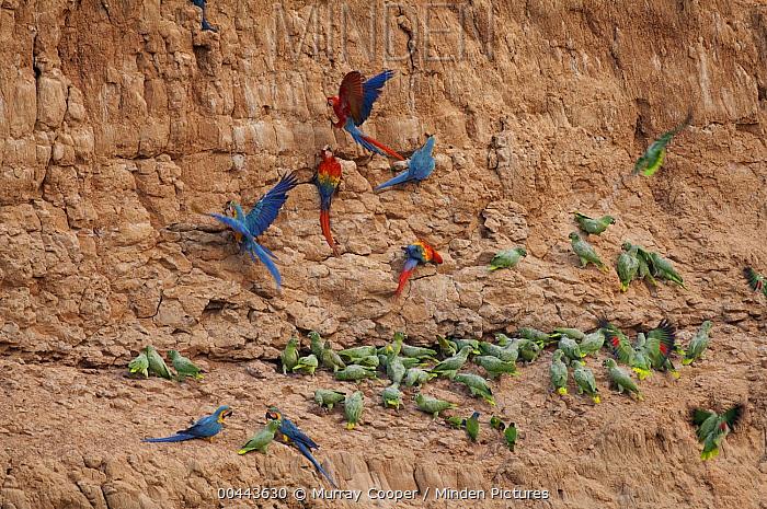 Scarlet Macaw (Ara macao), Blue and Yellow Macaw (Ara ararauna) and Mealy Parrot (Amazona farinosa) flock at clay lick, Peru  -  Murray Cooper