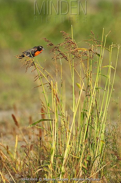 Peruvian Meadowlark (Sturnella bellicosa) male perching on reeds, Peru  -  Murray Cooper