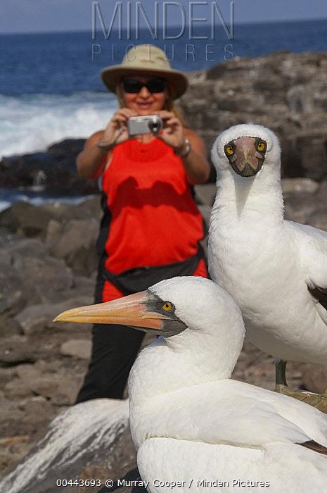 Masked Booby (Sula dactylatra) and tourist, Ecuador  -  Murray Cooper