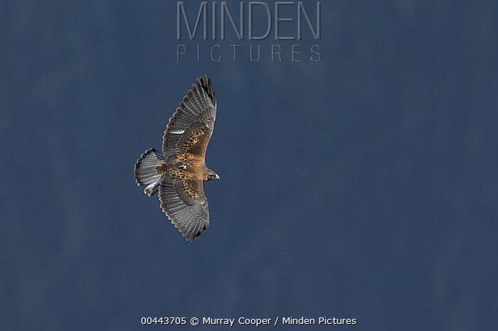 Black-chested Buzzard-Eagle (Geranoaetus melanoleucus) flying, Ecuador  -  Murray Cooper