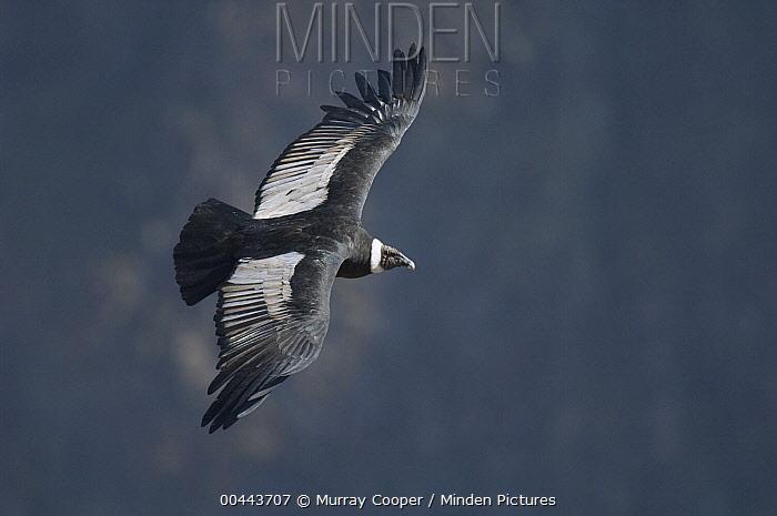 Andean Condor (Vultur gryphus) female flying, Ecuador  -  Murray Cooper