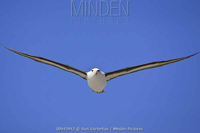 Black-browed Albatross (Thalassarche melanophrys) flying, Steeple Jason Island, Falkland Islands  -  Suzi Eszterhas
