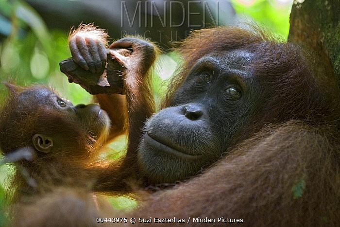 Sumatran Orangutan (Pongo abelii) mother and playful one and a half year old baby, Gunung Leuser National Park, north Sumatra, Indonesia  -  Suzi Eszterhas