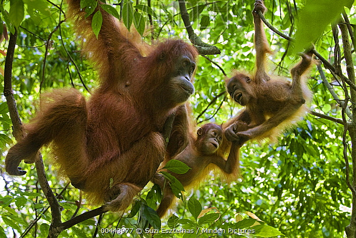Sumatran Orangutan (Pongo abelii) mother with her one and a half year old baby playing with other female's baby, Gunung Leuser National Park, north Sumatra, Indonesia  -  Suzi Eszterhas