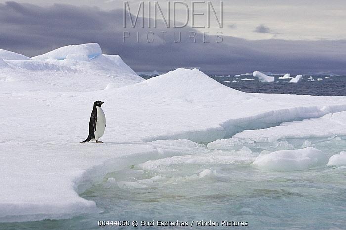 Adelie Penguin (Pygoscelis adeliae) on iceberg, Shingle Cove, Coronation Island, South Orkney Islands, Southern Ocean  -  Suzi Eszterhas