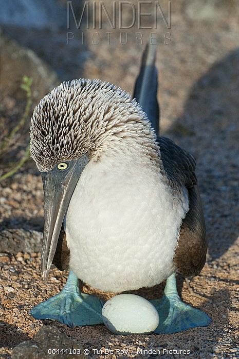 Blue-footed Booby (Sula nebouxii) incubating egg in shallow sand scrape, Galapagos Islands, Ecuador  -  Tui De Roy