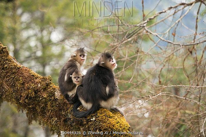 Yunnan Snub-nosed Monkey (Rhinopithecus bieti) family, Baima Snow Mountain, Yunnan, China  -  Xi Zhinong