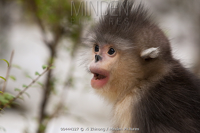 Yunnan Snub-nosed Monkey (Rhinopithecus bieti) young, Baima Snow Mountain, Yunnan, China  -  Xi Zhinong
