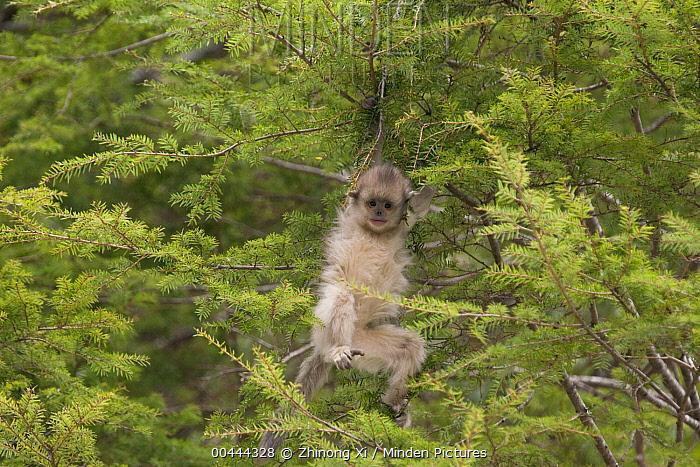 Yunnan Snub-nosed Monkey (Rhinopithecus bieti) baby playing in conifer, Baima Snow Mountain, Yunnan, China  -  Xi Zhinong