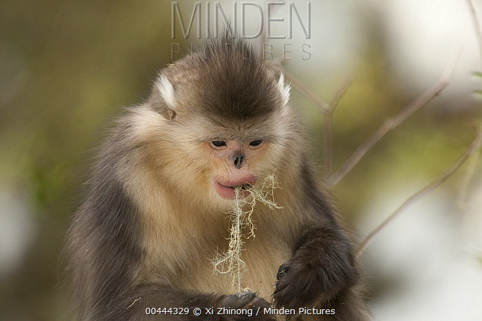 Yunnan Snub-nosed Monkey (Rhinopithecus bieti) feeding on lichen, Baima Snow Mountain, Yunnan, China  -  Xi Zhinong