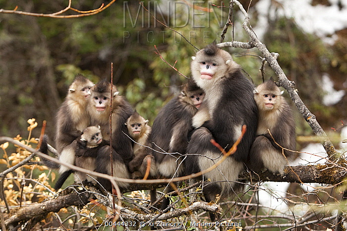 Yunnan Snub-nosed Monkey (Rhinopithecus bieti) family huddling together for warmth, Baima Snow Mountain, Yunnan, China  -  Xi Zhinong