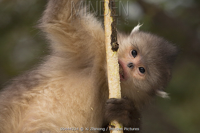Yunnan Snub-nosed Monkey (Rhinopithecus bieti) feeding on bark, Baima Snow Mountain, Yunnan, China  -  Xi Zhinong