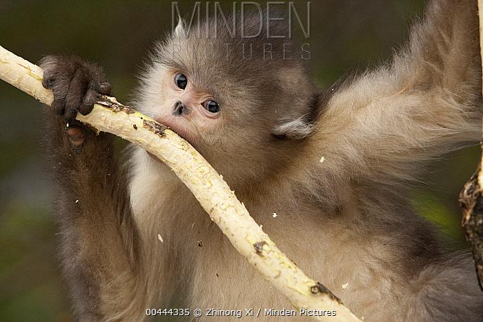 Yunnan Snub-nosed Monkey (Rhinopithecus bieti) feeding on bark, Baima Snow Mountain, Yunnan, China  -  Xi Zhinong