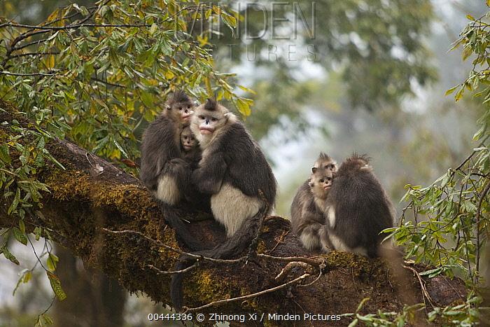 Yunnan Snub-nosed Monkey (Rhinopithecus bieti) family huddling together for warmth, Baima Snow Mountain, Yunnan, China  -  Xi Zhinong