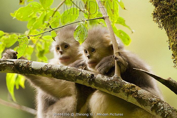 Yunnan Snub-nosed Monkey (Rhinopithecus bieti) pair, Baima Snow Mountain, Yunnan, China  -  Xi Zhinong
