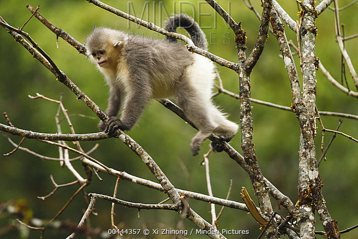 Yunnan Snub-nosed Monkey (Rhinopithecus bieti) climbing tree, Baima Snow Mountain, Yunnan, China  -  Xi Zhinong