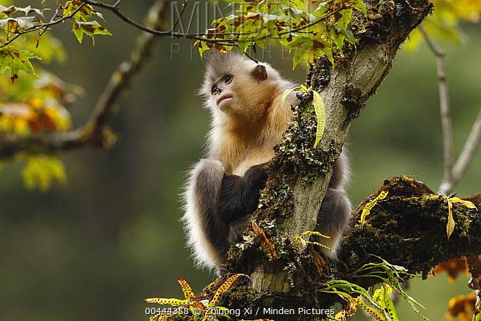 Yunnan Snub-nosed Monkey (Rhinopithecus bieti) in tree, Baima Snow Mountain, Yunnan, China  -  Xi Zhinong