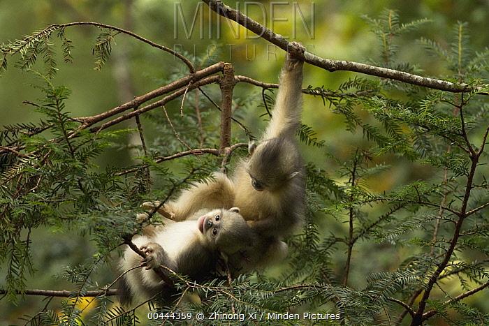 Yunnan Snub-nosed Monkey (Rhinopithecus bieti) babies playing, Baima Snow Mountain, Yunnan, China  -  Xi Zhinong
