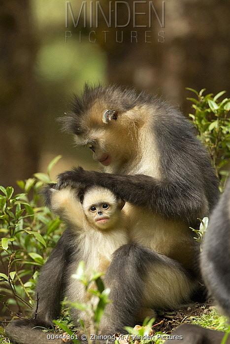 Yunnan Snub-nosed Monkey (Rhinopithecus bieti) mother grooming her baby, Baima Snow Mountain, Yunnan, China  -  Xi Zhinong