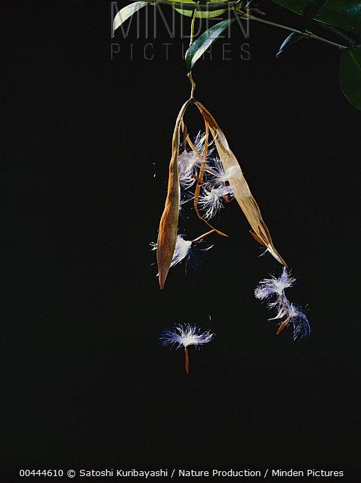 Yellow Star Jasmine (Trachelospermum asiaticum) seeds popping out of pod, Hirado, Nagasaki, Japan  -  Satoshi Kuribayashi/ Nature Prod