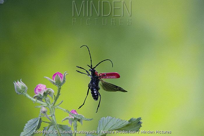 Horn Minden minden pictures stock photos horn beetle purpuricenus