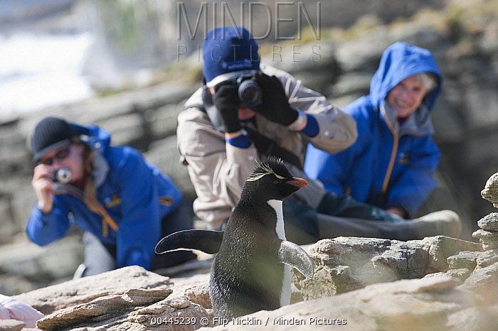 Southern Rockhopper Penguin (Eudyptes chrysocome) being photographed by tourists, Antarctica  -  Flip  Nicklin