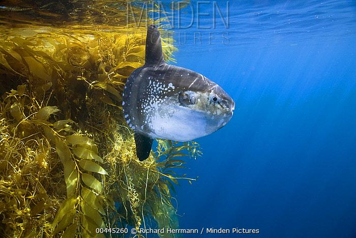 Ocean Sunfish (Mola mola) and Giant Kelp (Macrocystis pyrifera) paddy, San Diego, California  -  Richard Herrmann