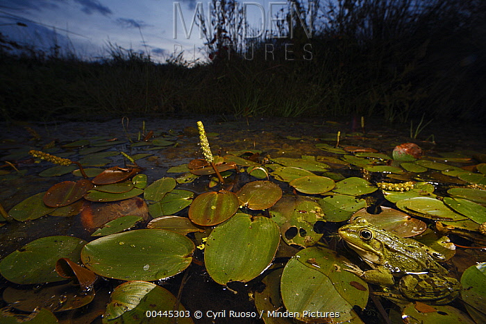 Common Frog (Rana temporaria) in pond, Burgundy, France  -  Cyril Ruoso