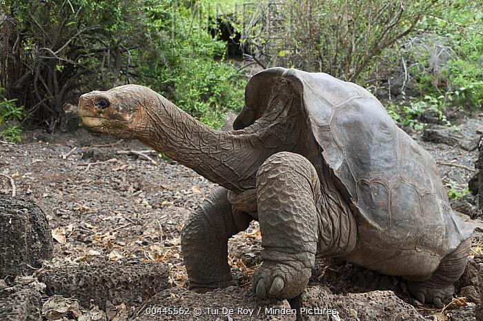 Minden Pictures Stock Photos Pinta Island Galapagos