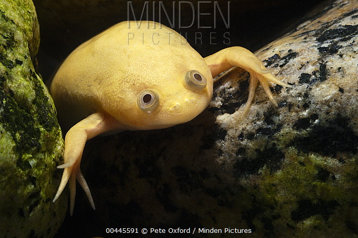 African Clawed Frog (Xenopus laevis) albino, southern Africa  -  Pete Oxford