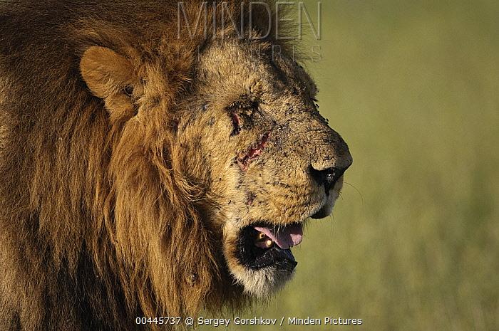 African Lion (Panthera leo) old male with scars, Botswana  -  Sergey Gorshkov