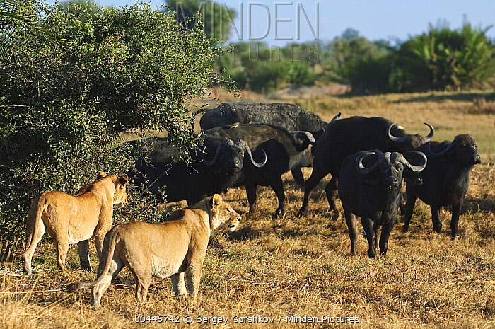 African Lion (Panthera leo) females at a stand-off with Cape Buffalo (Syncerus caffer) herd, Botswana  -  Sergey Gorshkov
