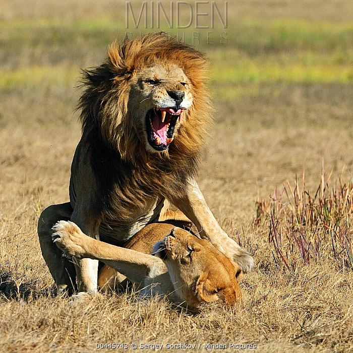 African Lion (Panthera leo) pair mating, Botswana  -  Sergey Gorshkov