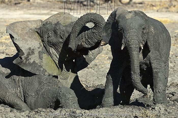 African Elephant (Loxodonta africana) and calf wallowing in mud, Botswana  -  Sergey Gorshkov