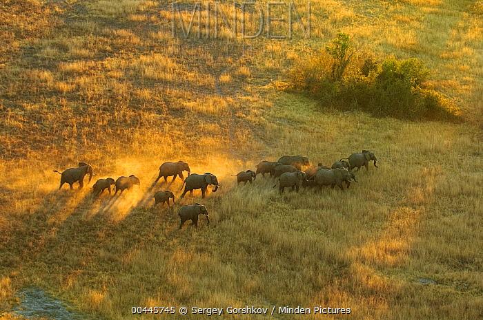 African Elephant (Loxodonta africana) herd travelling through savanna, Botswana  -  Sergey Gorshkov