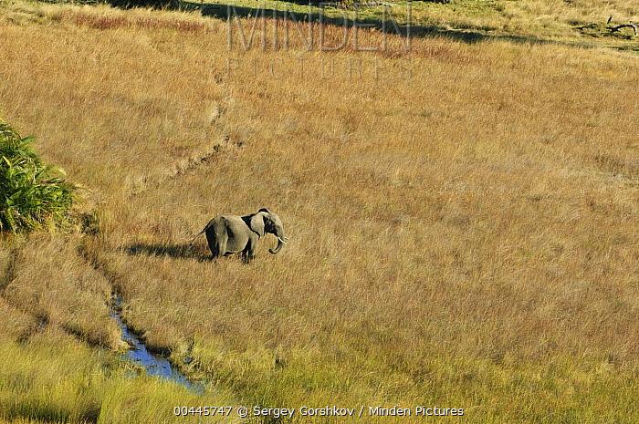 African Elephant (Loxodonta africana) bull, Botswana  -  Sergey Gorshkov