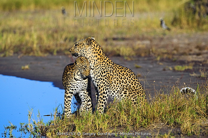 Leopard (Panthera pardus) cub nuzzling against mother, Botswana  -  Sergey Gorshkov