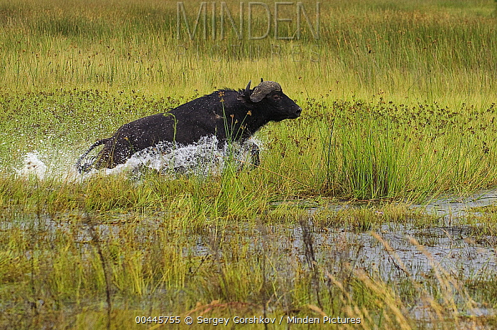 Cape Buffalo (Syncerus caffer) running through shallow water, Botswana  -  Sergey Gorshkov