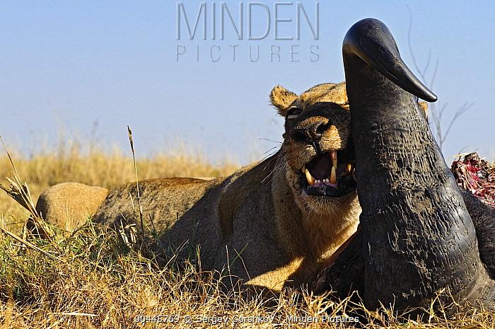 African Lion (Panthera leo) female gnawing on Cape Buffalo (Syncerus caffer) horn, Botswana  -  Sergey Gorshkov