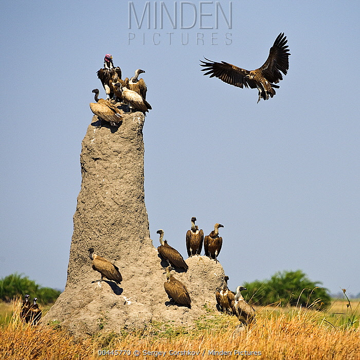 White-backed Vulture (Gyps africanus) landing on termite mound alongside Cape Vultures (Gyps coprotheres) and a Lappet-faced Vulture (Torgos tracheliotus), Botswana  -  Sergey Gorshkov
