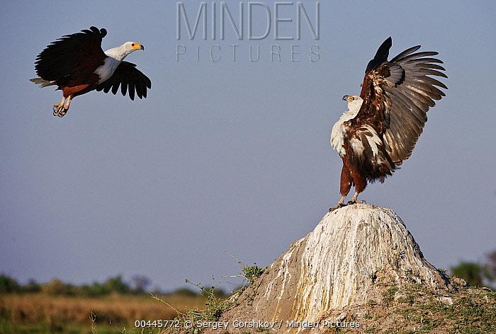 African Fish Eagle (Haliaeetus vocifer) displaying as another adult comes in for landing, Botswana  -  Sergey Gorshkov