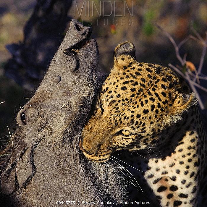 Leopard (Panthera pardus) carrying Warthog (Phacochoerus africanus) prey, Botswana  -  Sergey Gorshkov
