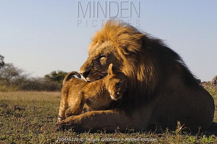 African Lion (Panthera leo) cub nuzzling against male, Botswana  -  Sergey Gorshkov