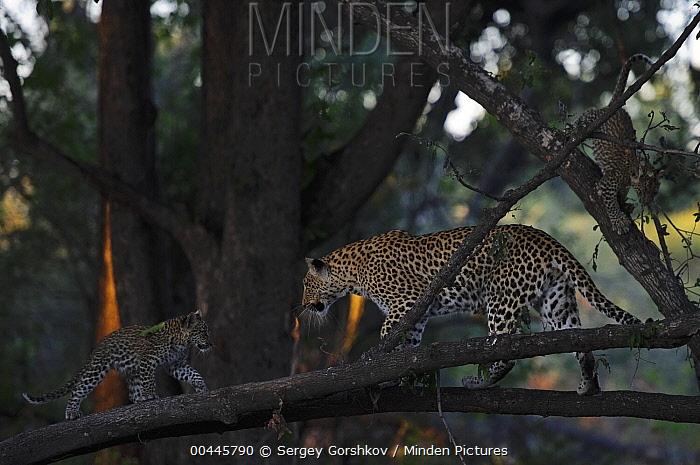 Leopard (Panthera pardus) mother and cub in tree, Botswana  -  Sergey Gorshkov