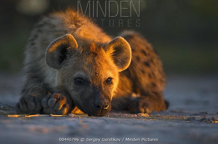 Spotted Hyena (Crocuta crocuta) resting at sunset, Botswana  -  Sergey Gorshkov